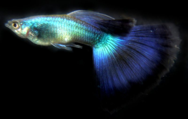 guppy_peacock_001