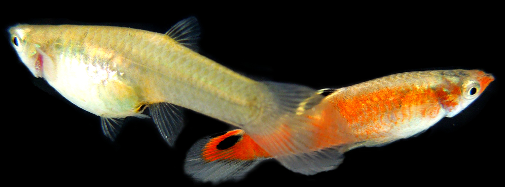 ... Livebearers / 1 PAIR of RED PICTA ?Poecilia picta? aka Swamp Guppy