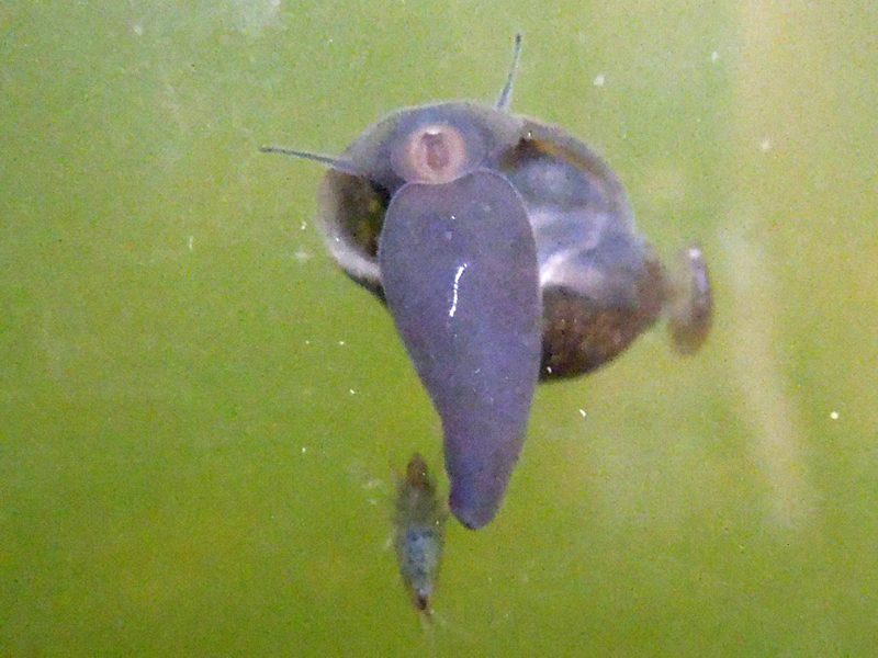 pond_snail_with_scuds_001