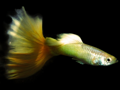 2014 Champion Yellow IFGA Delta Guppy
