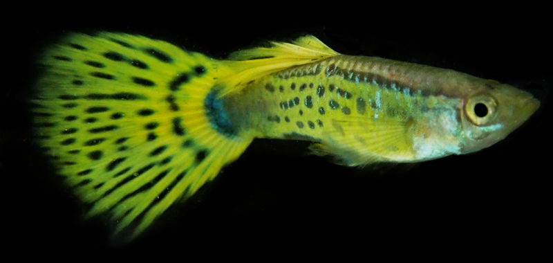 guppy_yellow_008