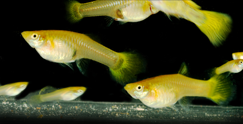 guppy_yellow_females_001