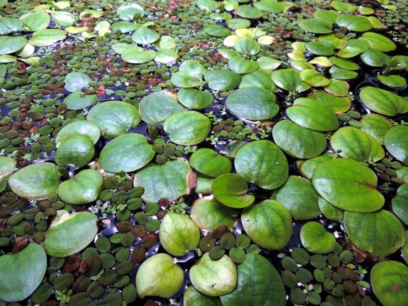 PLANT Amazon Frogbit aka Frogbit ?Limnobium laevigatum? with ...