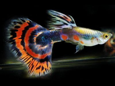 Image result for guppy