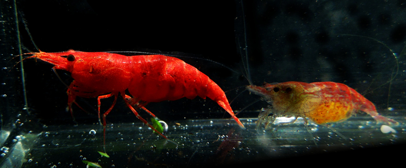 shrimp_cherry_001a