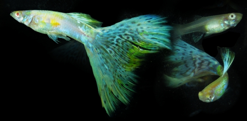 RREA with Blue - Green - Gold - Red and Mosaic Patterned Tail