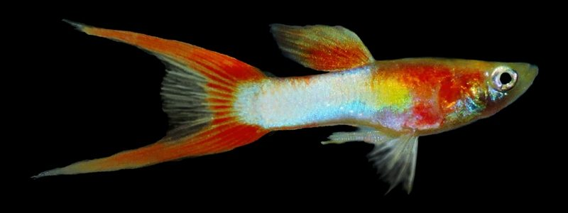 Exotic Italian blue red doublesword Guppy