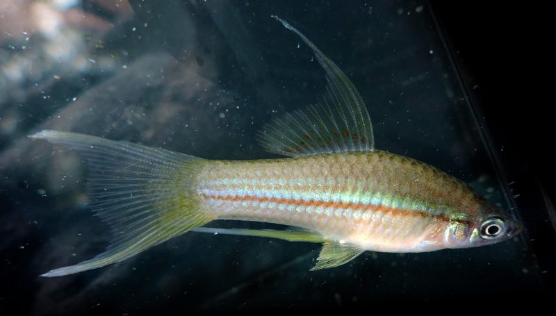 swordtail_green_lyretail_male_002
