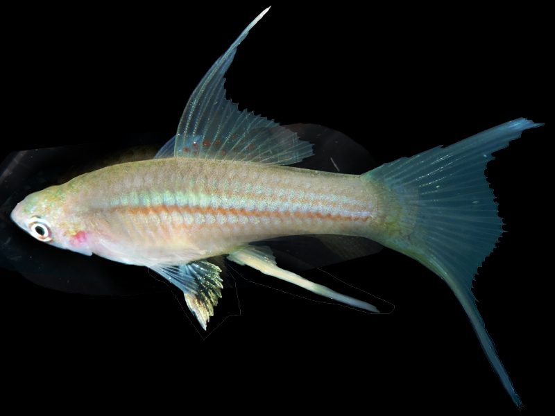 Hi-Fin Lyretail Green Swordtail