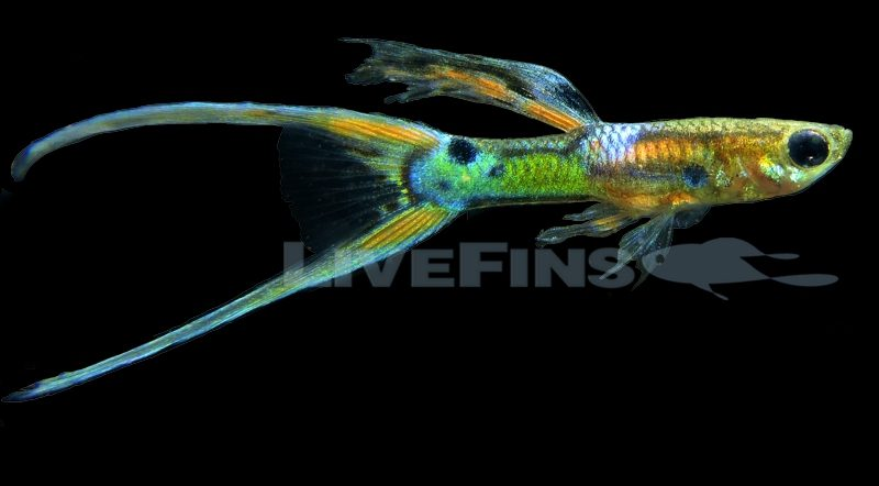 IKGA Double Sword Guppies by Meijin Li